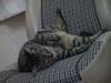 ローバーミニクーパーのノーマルシートの上で眠る猫ちゃん画像